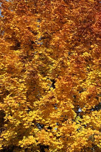 Autumn Leaves around my house