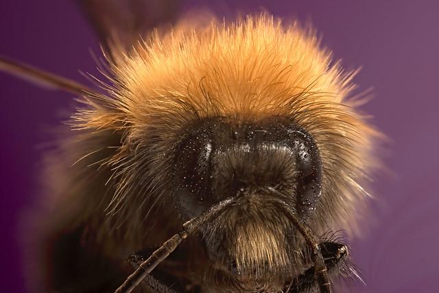 Bumble bee - Apidae Bombus