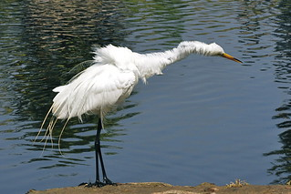 Great Egret in the spin cycle