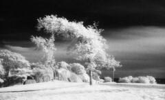 infrared028 - Windblown Tree