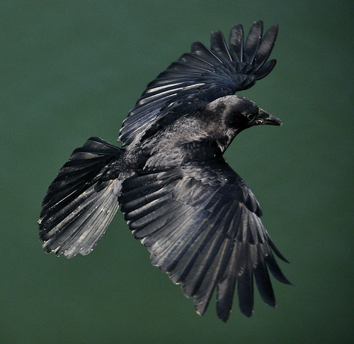 Crow coming in for a landing (corvus brachyhynchos)
