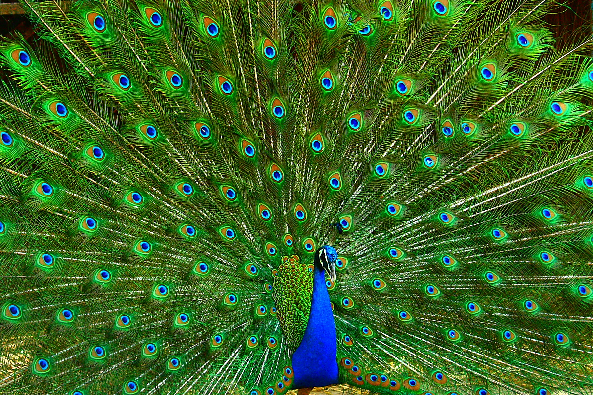 Peacock, the Indian national bird. - a photo on Flickriver