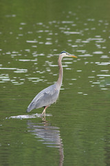 wetland(0.0), great egret(0.0), animal(1.0), wing(1.0), fauna(1.0), little blue heron(1.0), reflection(1.0), heron(1.0), pelecaniformes(1.0), beak(1.0), bird(1.0), wildlife(1.0), egret(1.0),
