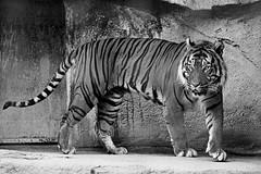 Sumatran Tiger B&W