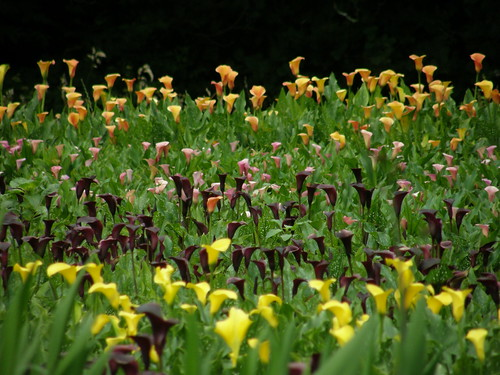 wholesale calla lilies