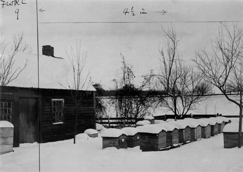 Bees in winter quarters, packed in chaff hives. Bee-house at left. About 1900.