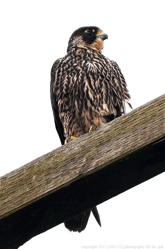 anacortes skagitcounty skagit washingtonstate padillabay bayviewedison bigindainslough falcoperegrinus peregrinefalcon pealsfalcon falcon birdofprey raptor bird a266122photographyproduction
