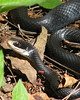 "<a href=""http://www.flickr.com/photos/vickisnature/3549392643/"">Photo of Coluber constrictor by Vicki DeLoach</a>"