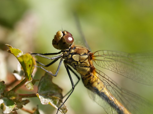 Dragonfly, Yago/Tombo