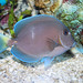 Small photo of Blue tang surgeonfish - Acanthurus coeruleus