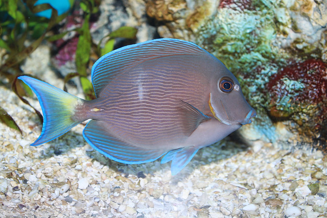 Blue tang surgeonfish acanthurus coeruleus flickr for Blue tang fish facts
