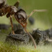 Ant with aphids by Matt Cole1