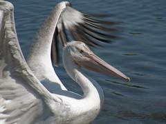 albatross(0.0), gannet(0.0), animal(1.0), pelican(1.0), suliformes(1.0), wing(1.0), fauna(1.0), beak(1.0), bird(1.0), seabird(1.0),