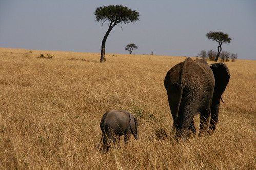 Elephants in a field