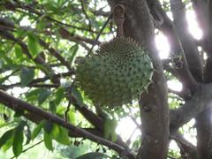 evergreen, tree, flora, fruit, soursop,