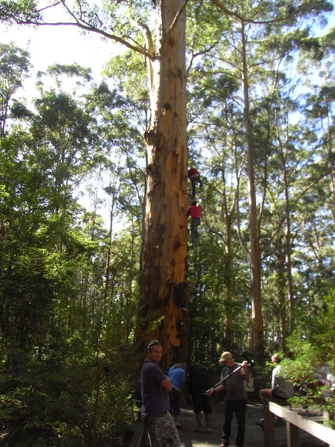 Gloucester Australia  City pictures : Gloucester Tree, Pemberton, Western Australia | Flickr Photo Sharing ...