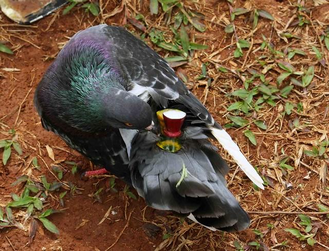 Burung dara | Flickr - Photo Sharing!