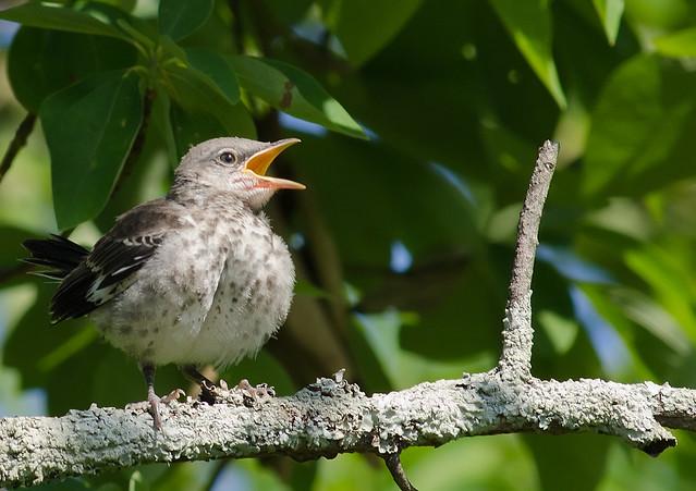 Northern Mockingbird Baby Food