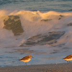 Sandpipers, Fire Island National Seashore