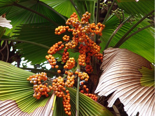 Palm with fruit