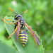Hornets and Paper Wasps - Photo (c) Cécile Bassaglia, some rights reserved (CC BY-NC-SA)