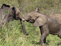 adventure(0.0), rhinoceros(0.0), animal(1.0), indian elephant(1.0), elephant(1.0), elephants and mammoths(1.0), african elephant(1.0), fauna(1.0), safari(1.0), wildlife(1.0),
