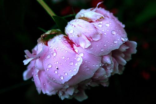 Peony Raindrops 6-11-09 1