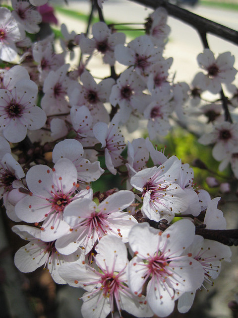 Purple Leaf Sand Cherry Tree In Front Yard A Photo On
