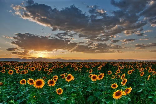 sunset colorado longmont sunflower