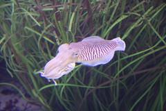 fish(0.0), macro photography(0.0), organism(1.0), marine biology(1.0), invertebrate(1.0), fauna(1.0), cuttlefish(1.0), underwater(1.0),