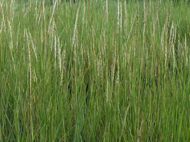 Salt Marsh Grass Flickr Photo Sharing