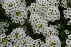 iberis sempervirens(0.0), candytuft(0.0), tanacetum parthenium(0.0), yarrow(1.0), shrub(1.0), flower(1.0), plant(1.0), flora(1.0),