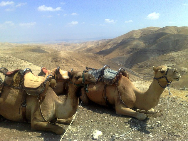 Camels At Genesis Land Judean Desert Israel Flickr