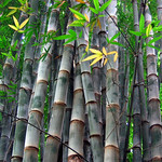 Bamboo in Costa Rica
