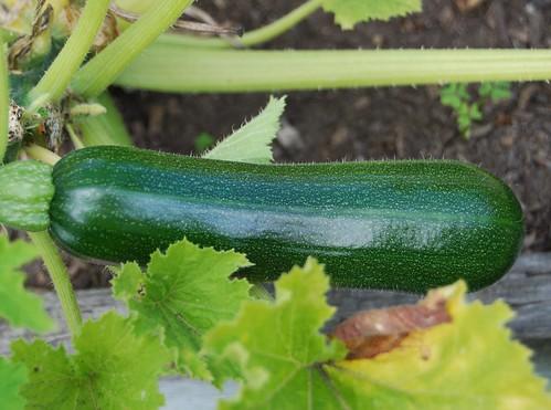 Zucchini 9-21-09 1