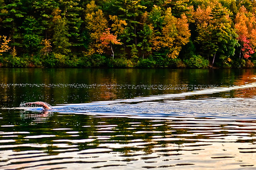 blue autumn trees sunset orange cloud lake fall sports water beautiful leaves lines yellow boston swimming swim reflections gold evening pond nikon arm dusk ripple massachusetts newengland peaceful grace calm fluid shore swimmer walden serene concord graceful middlesex waldenpond active thoreau concordma bostonist henrydavidthoreau concordmassachusetts d90 middlesexcounty nikond90 flickrgolfclub northofnormal briburt