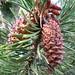 Flickr photo 'Pinus contorta subsp. murrayana (Tamarack Pine or Sierra Lodgepole Pine)' by: S. Rae.