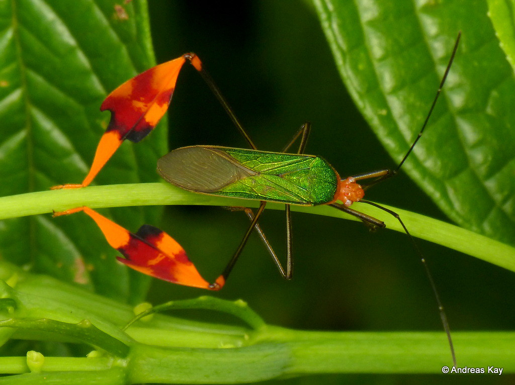 Leaf-footed Bug, Anisoscelis foliacea, Coreidae