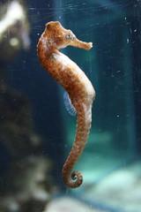 seahorse, animal, marine biology,