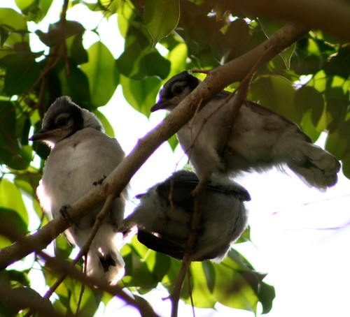 Blue Jay chicks hanging around