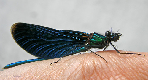 nature bug insect slovenia damselfly narava žuželka macromarvels kačjipastir