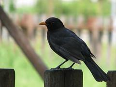 robin(0.0), crow(0.0), common myna(0.0), rook(0.0), animal(1.0), fauna(1.0), acridotheres(1.0), beak(1.0), blackbird(1.0), bird(1.0), wildlife(1.0),