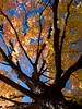 Tree in Fall for Blackberry Storm