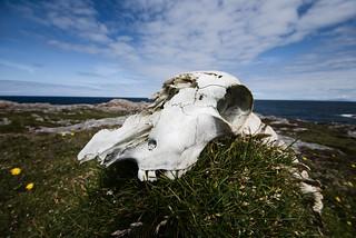 Tiree Skull