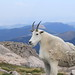 Evans goat by rashires