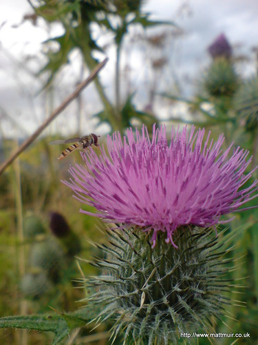 Thistles on Dundee Law by mattmuir.co.uk