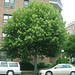 Small photo of Tilia americana - American Basswood tree