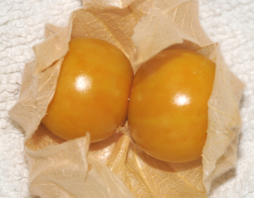 Physalis sp.