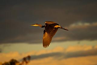 Great Blue Heron @ Sunset