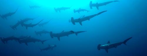 Sharks tank